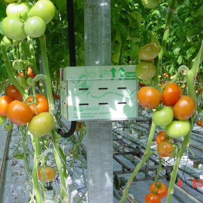 bikasse-i-tomater