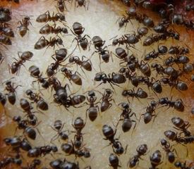 mange-myrer