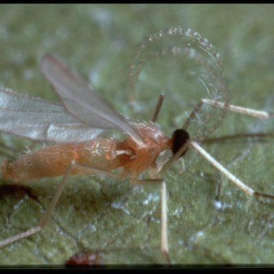 Aphidoletes aphidimyza - galmyg