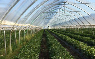 Jordbærtunneler hos professionelle jordbæravlere bruger humlebier og biologisk bekæmpelse