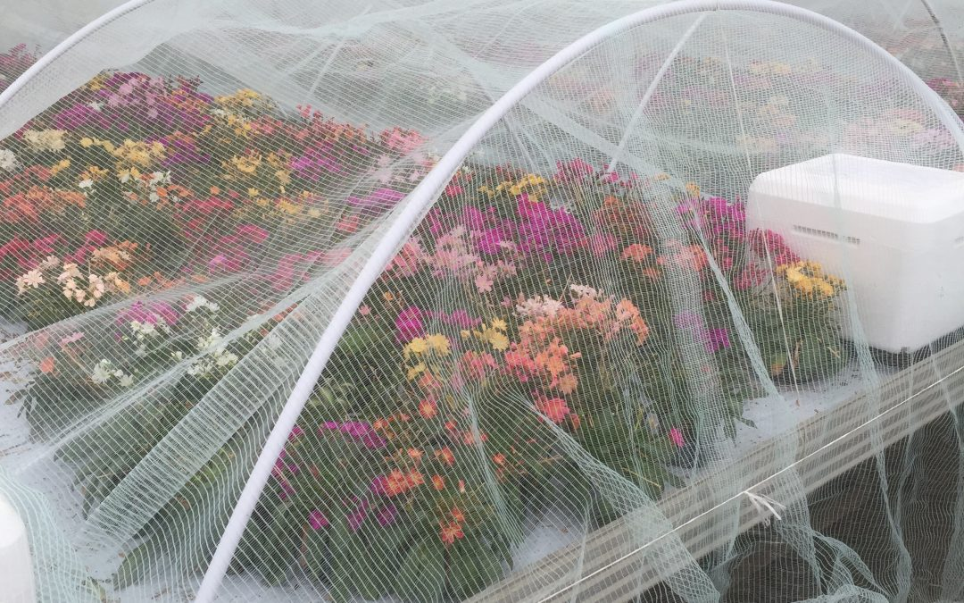 Humlebier bestøver effektivt under telt