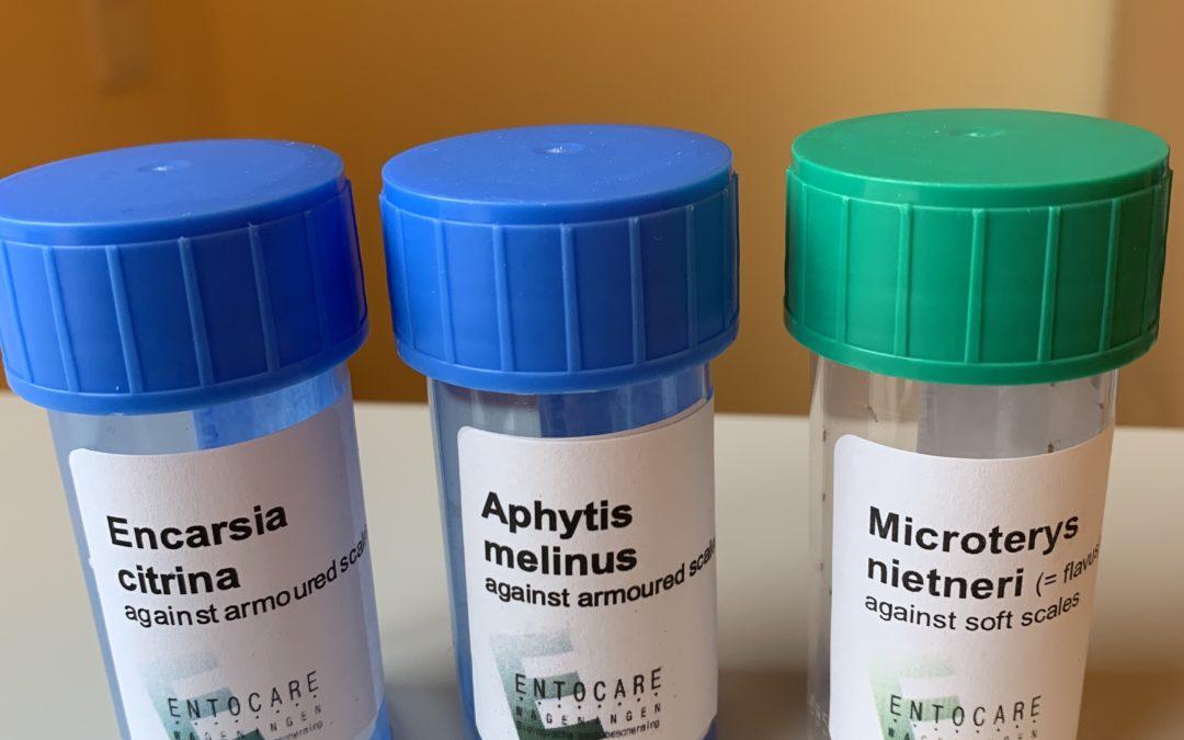 Nye parasitoider (skjoldlus snyltehvepse) mod flere arter skjoldlus