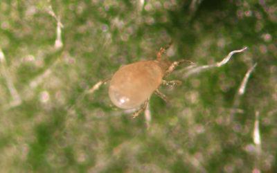Typhlodromus swirskii (Amblyseius swirskii) 50.000 og 125.000 strø