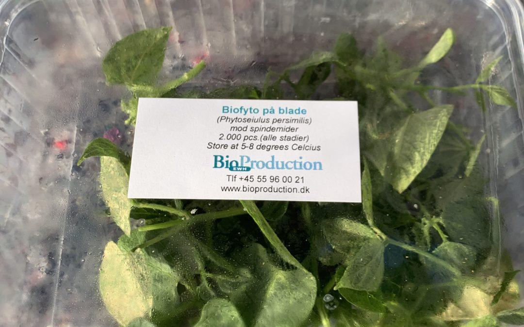 Rovmider (Phytoseiulus persimilis) på bønneblade til bekæmpelse af spindemider (500 og 2.000 stk.)