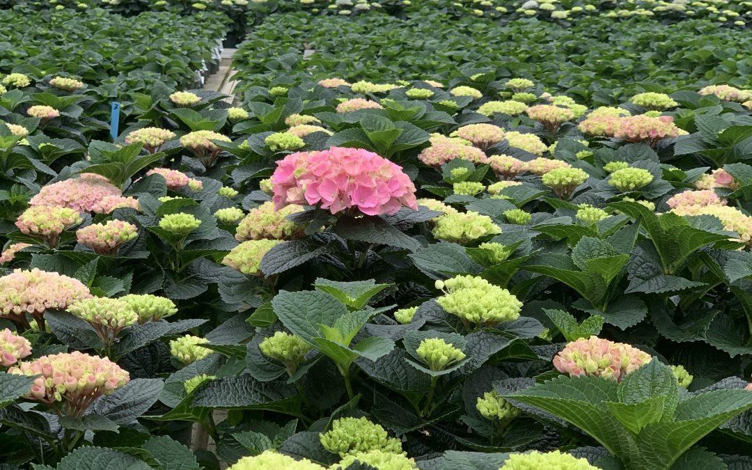 Biologisk bekæmpelse i Hortensia (Hydrangea)